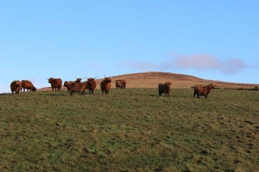 West side farm: Highland cows on pasture, Argyll