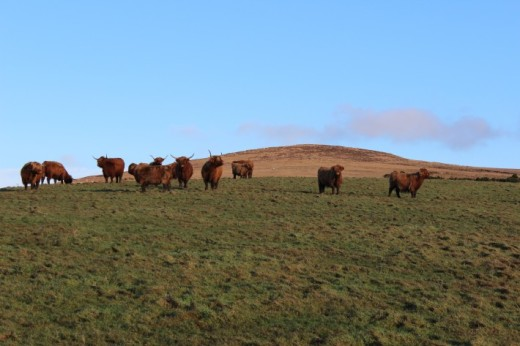 West side farm: Highland cows on pasture, Argyll