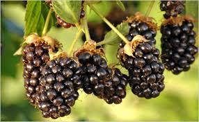 bramble lobed fruit