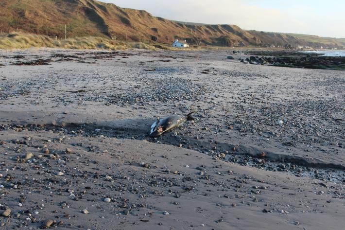 IMG_porpoise on Cleit beach