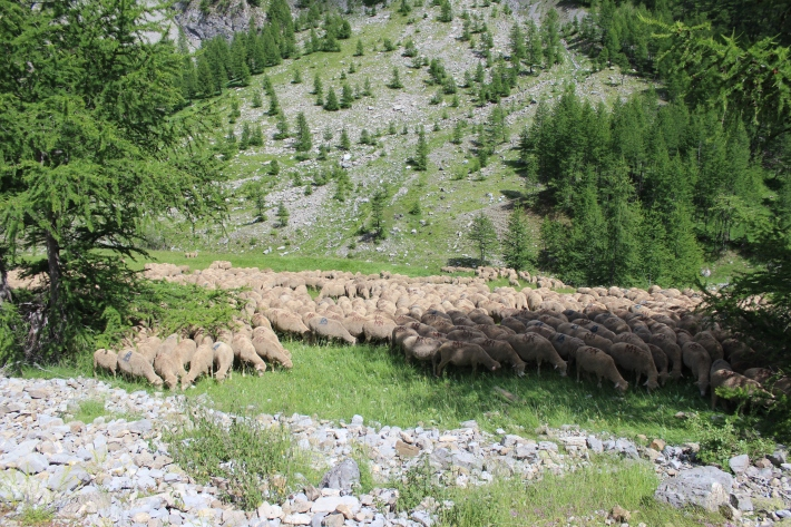 sheep grazing at 1500m. in French Alps, July.