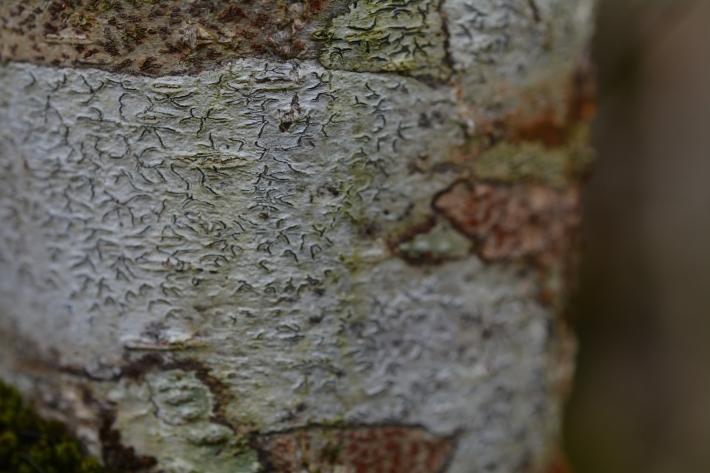 graphina anguina